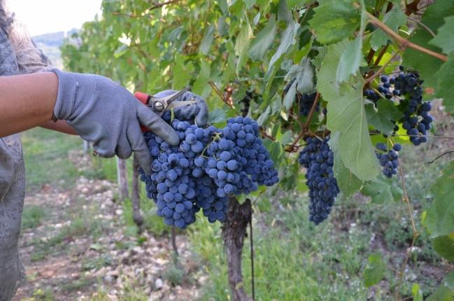 Harvest 2015 No. 5 Calcarole - 'Barbera just cut '