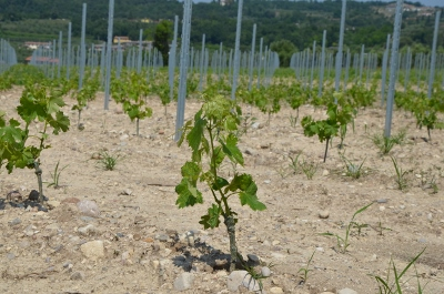 Near this vine can be seen some the classic 'moranic' smooth large pebbles, typical of good Bardolino terroir