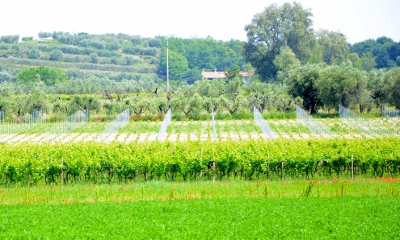 Nesteled in between a 'Pergola' trained vineyard and an ancient olive grove
